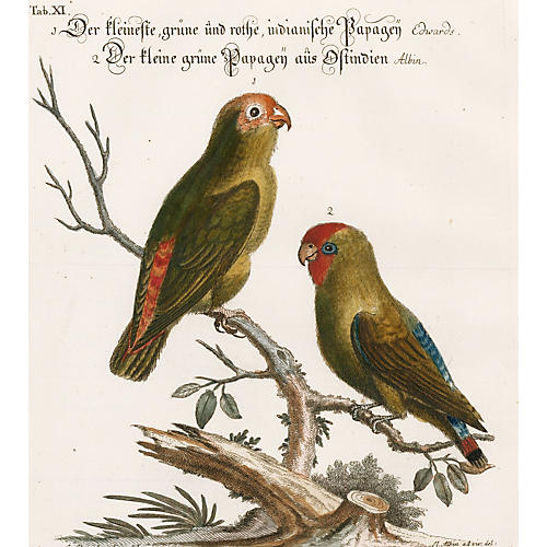 Hand-Colored Indian Parrots, C. 1760
