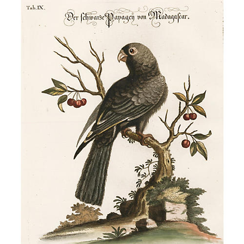 Hand-Colored Madagascar Parrot, C. 1760