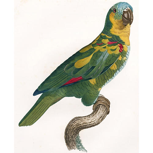 Amazon Parrot by Barraband, C. 1805