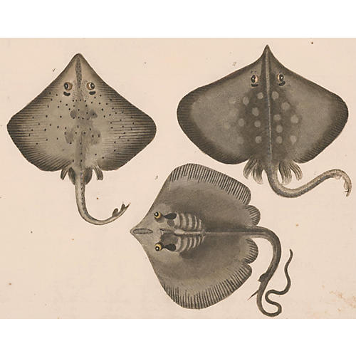 Hand-Colored Rays, C. 1820
