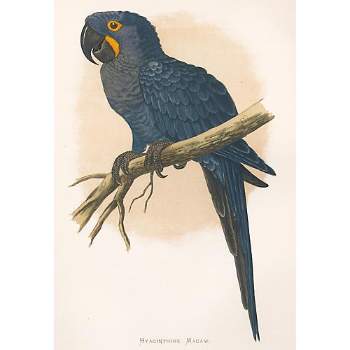 Hyacinthine Macaw Engraving, 1884