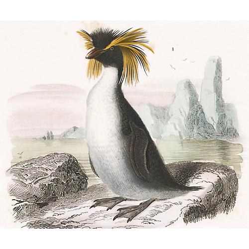 Macaroni Penguin Engraving, 1849