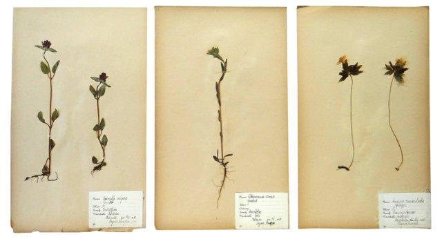 Dried Swedish    Botanicals, Set of 3