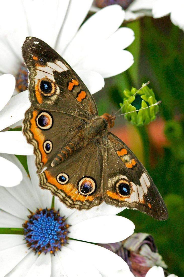 Junonia Coenia Butterfly
