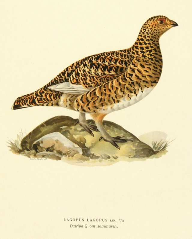 Speckled Grouse, 1929