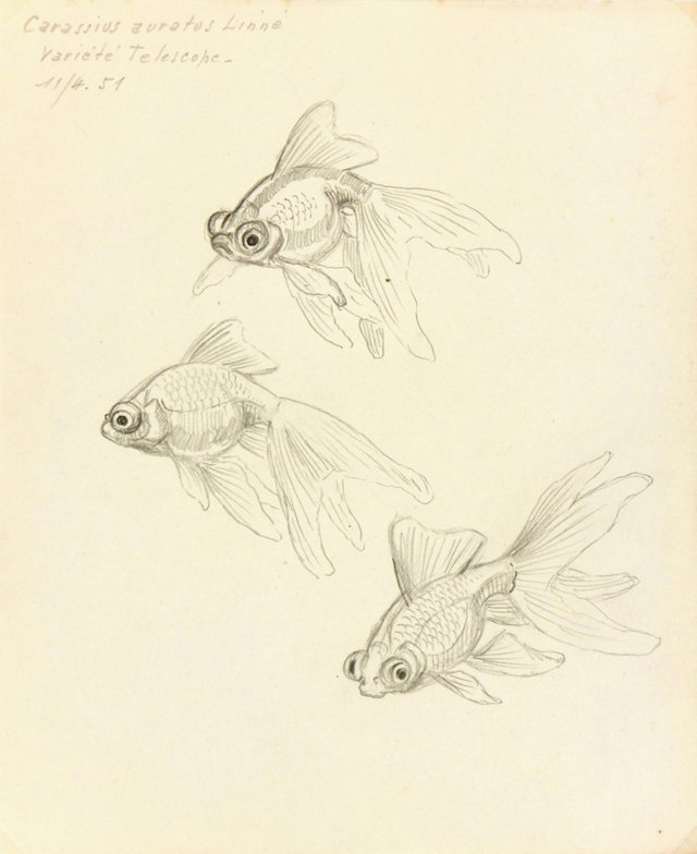 Fish Drawing, 1951