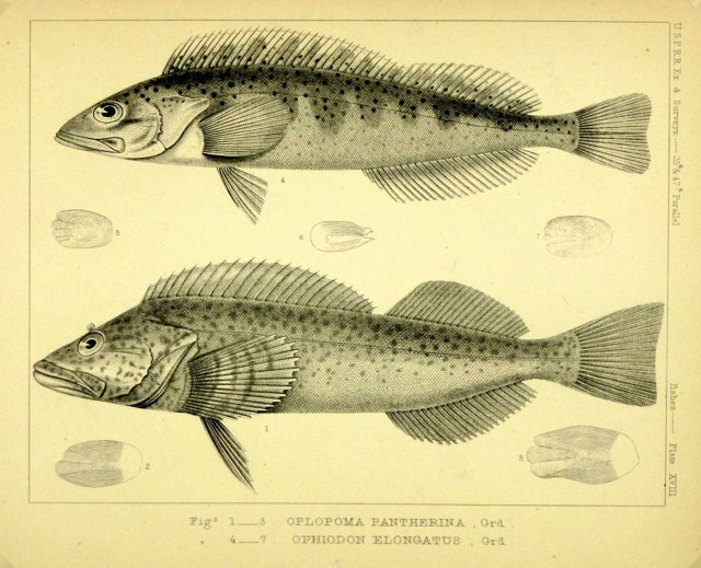 Fish, 1855