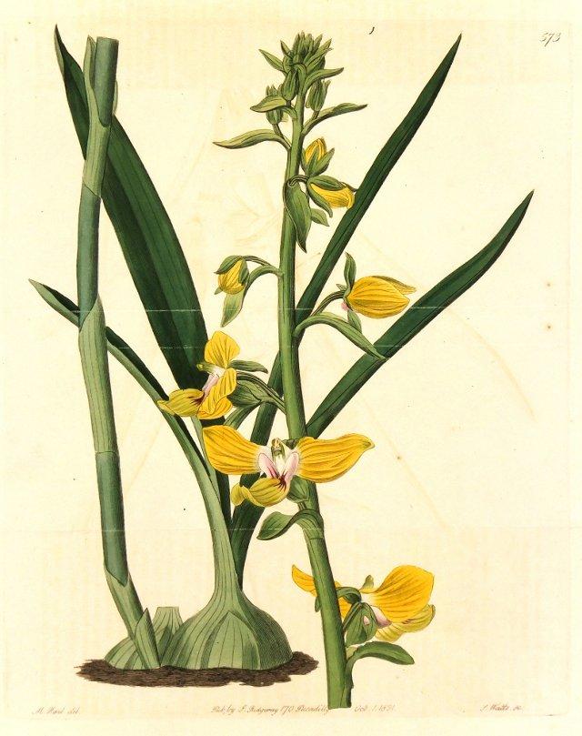 English Botanical, 1821