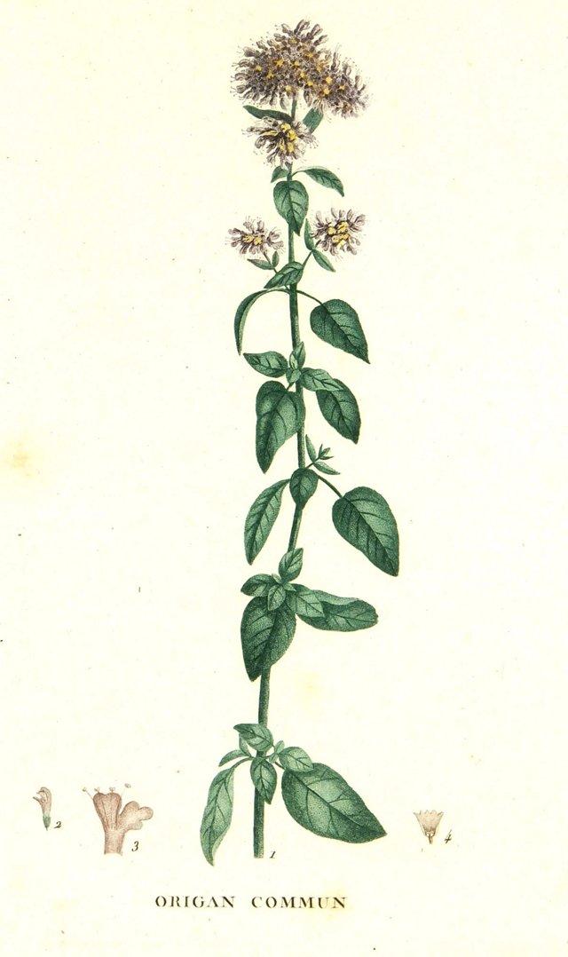 Oregano, C. 1830