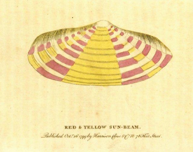 Sun Beam Shell, 1799