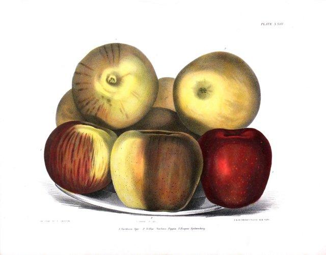 Apples,     C. 1850