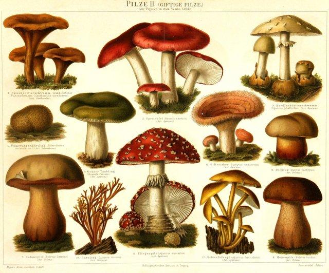 Poisonous Mushrooms, 1896