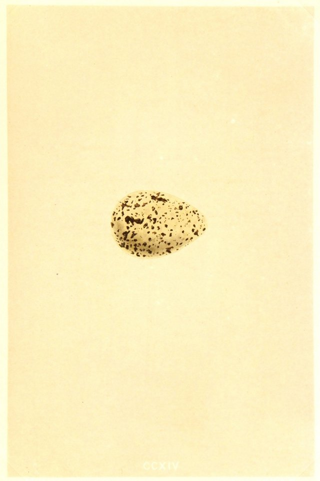 English Spotted Egg, 1859