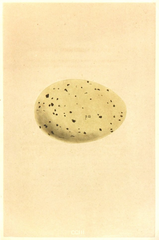English Speckled Egg, 1859