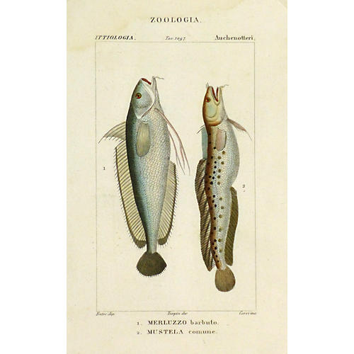 Bearded Cod Fish, C. 1830