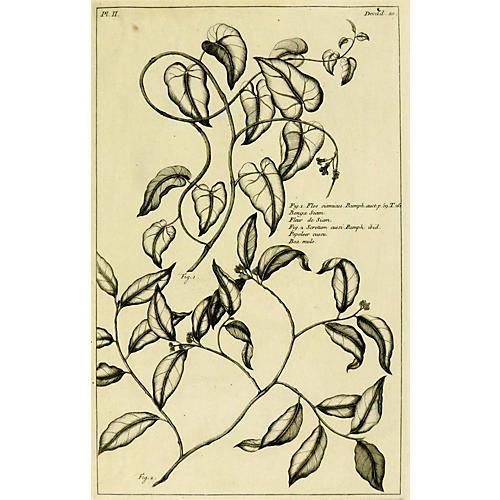 Flos Siamicus Botanical, 1773
