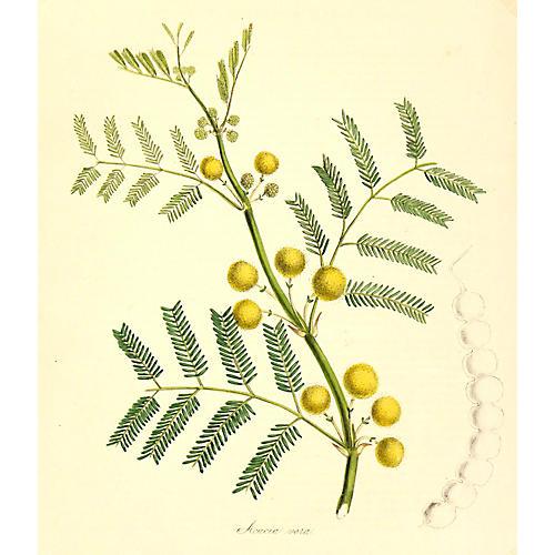 Acacia Tree, C. 1860