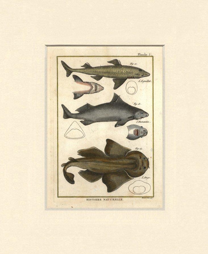 Sharks Print, C. 1770