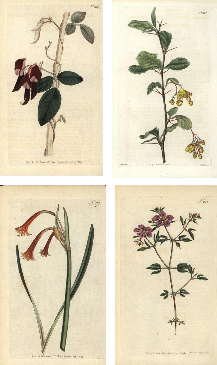 Antique Curtis Floral  Prints, S/4