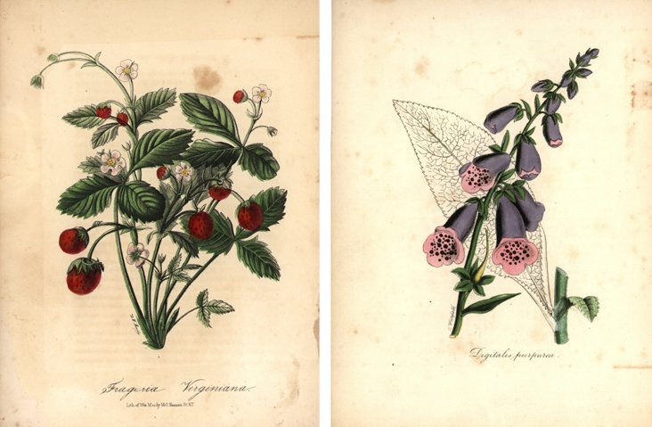 Botanical Prints, C. 1850, Pair