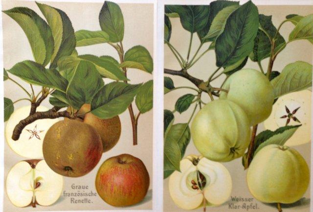 1920s German Apple Prints, Pair