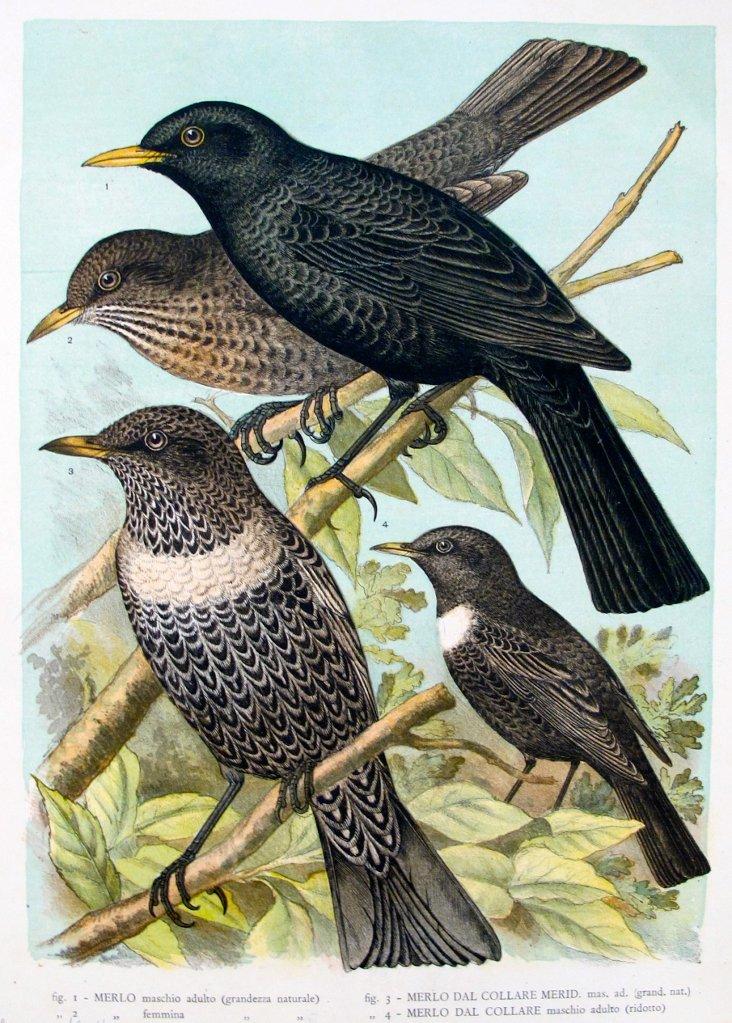 1940s Italian Bird Print