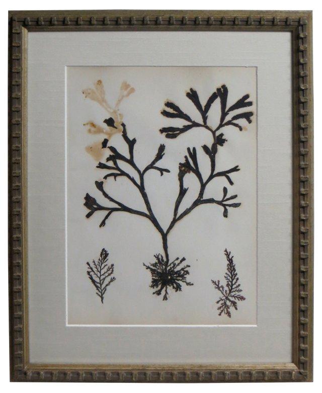 1880s Seaweed       Specimens