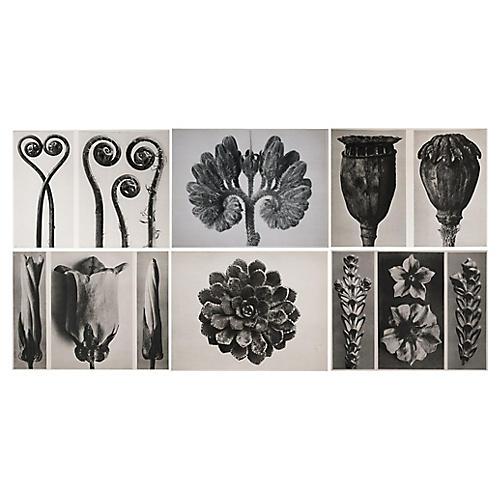 1928 Karl Blossfeldt Photogravures, S/6