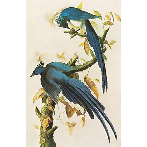 Lithograph of Columbia Jay by Audubon