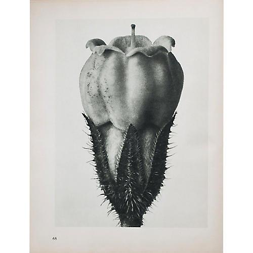 Blossfeldt Photogravure N68-67, 1935