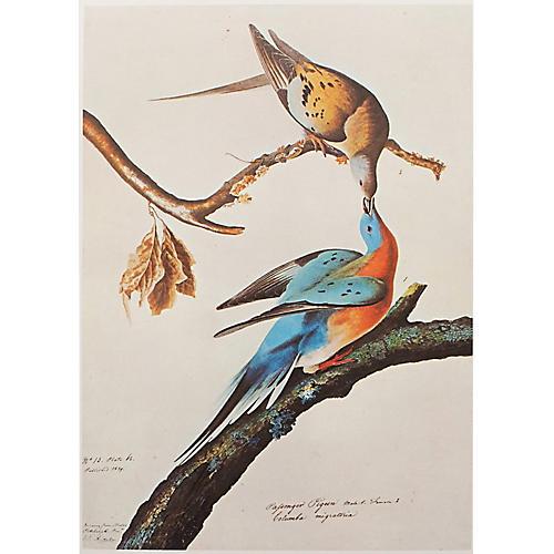 Passenger Pigeon by Audubon, 1966