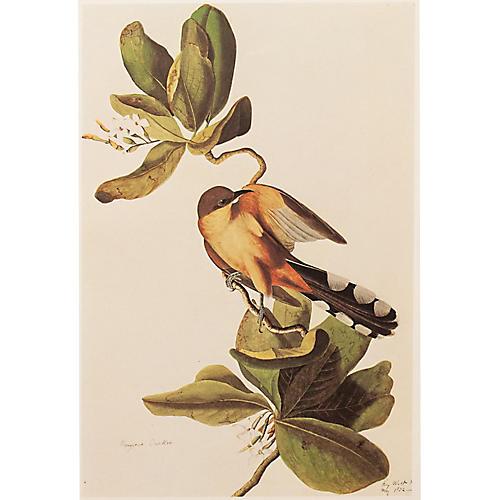 Mangrove Cuckoo by Audubon, 1966