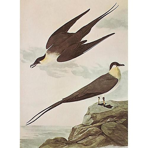 1966 Audubon, Long-Tailed Jaeger