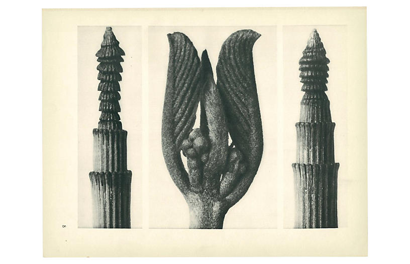 1928 Blossfeldt Original Photogravure N8