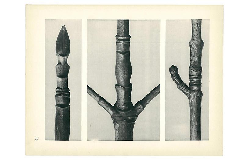 1928 Karl Blossfeldt, Photogravure N16