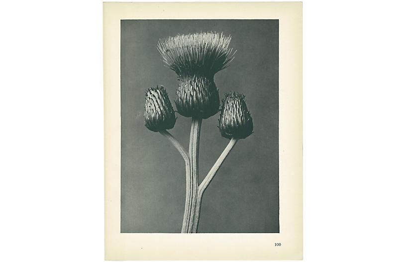 1928 Karl Blossfeldt, Cirsium Canum