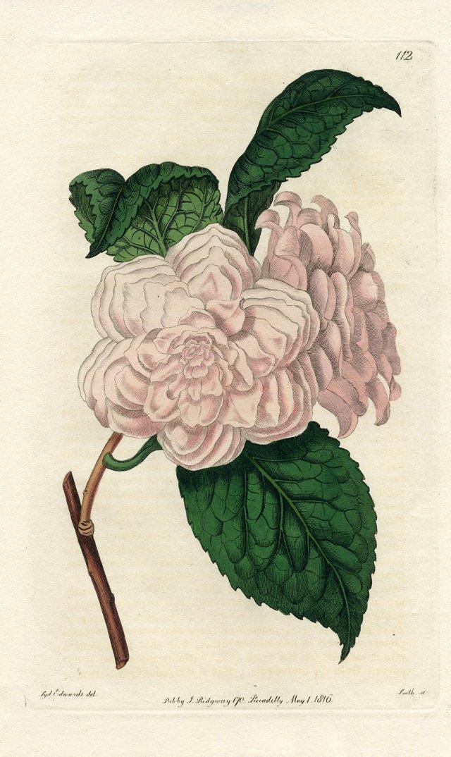 Camellia, 1816
