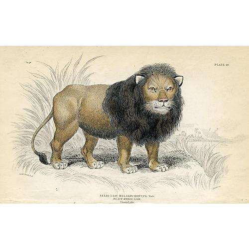 Black-Maned Lion, 1830s Engraving