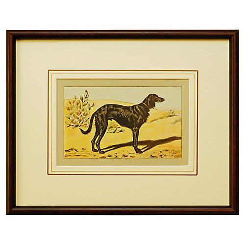 Persian Greyhound, 1907