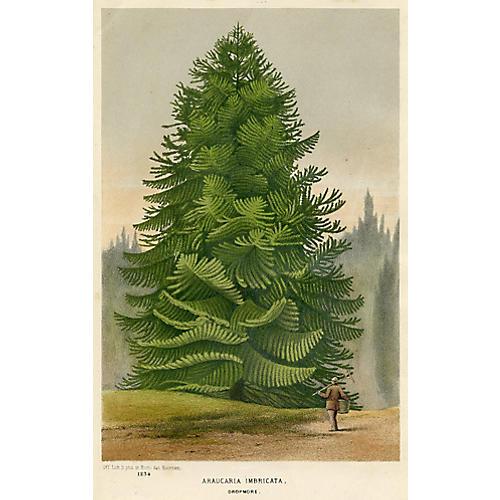 Monkey-Puzzle Tree, 1877
