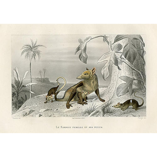 French Possum Print, 1880
