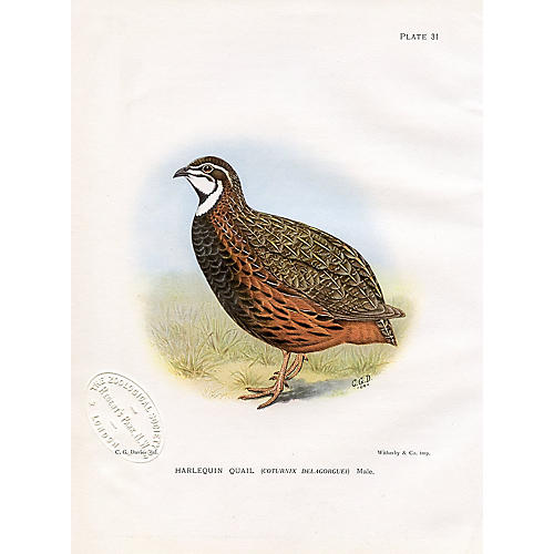 South African Harlequin Quail, 1912