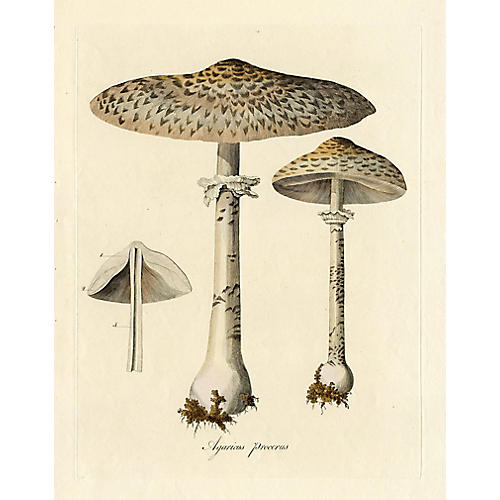 The Tall Mushroom from Flora Londonensis