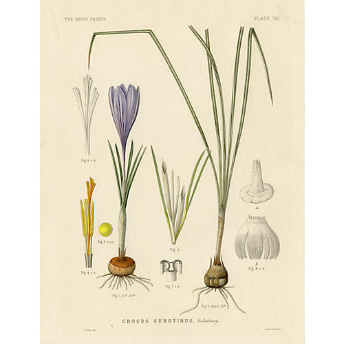 The Late Crocus, 1886