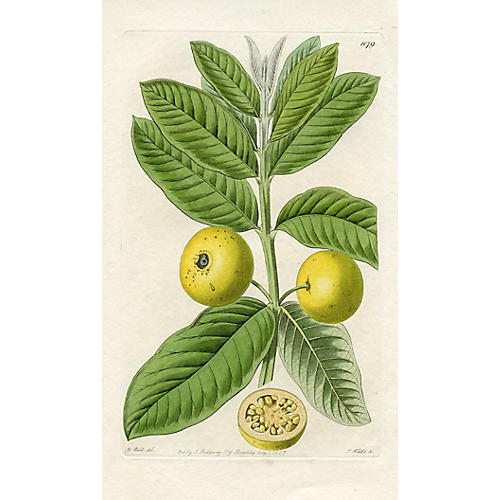 Pear-Fruited Guava, 1827