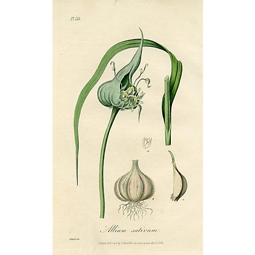 Common Garlic, 1829