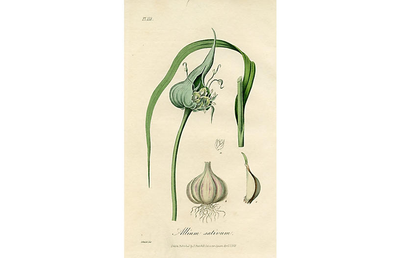 Common Garlic, 1829
