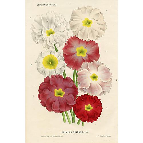 Belgian Primrose Print, 1885