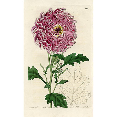Indian Chrysanthemum, 1822