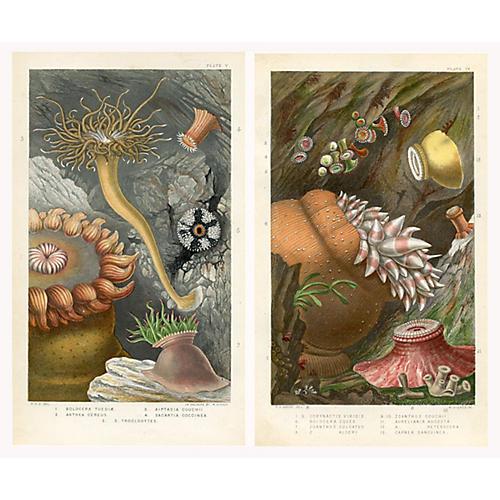 British Sea Anemones & Coral, Pair